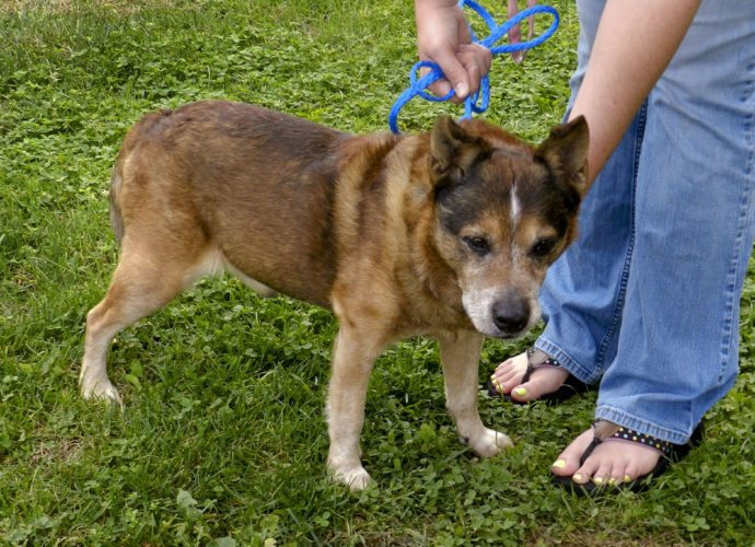 Buster, a 9-year-old heeler, is waiting for a new home at the Clarke County Animal Shelter in Berryville. Kaley Toy/Daily